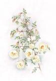 Pintura blanca salvaje de la acuarela de las rosas Fotografía de archivo