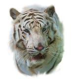 Pintura branca da aquarela do tigre Foto de Stock
