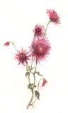 Pintura carmesim da aguarela da flor do crisântemo Imagem de Stock Royalty Free