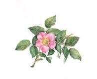 Pintura color de rosa salvaje de la acuarela ilustración del vector