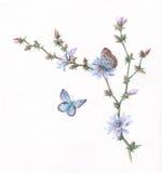 Pintura da aguarela da chicória e das borboletas Fotos de Stock Royalty Free