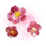 Pintura da aguarela de sakura Fotos de Stock Royalty Free