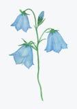 Pintura da aquarela da flor da campainha Fotografia de Stock Royalty Free