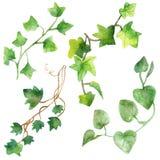 Pintura da aquarela das folhas verdes da hera isoladas em um fundo branco Ilustração pintado à mão da aquarela Teste padrão verde fotos de stock royalty free