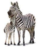 Pintura da aquarela de duas zebras Foto de Stock