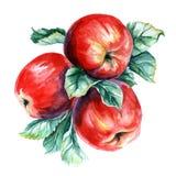 Pintura da aquarela do ramo com maçãs Fotografia de Stock