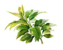 Pintura de la acuarela de hojas en el ejemplo blanco del fondo Imágenes de archivo libres de regalías
