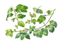 Pintura de la acuarela de hojas en el ejemplo blanco del fondo Fotos de archivo
