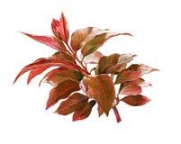 Pintura de la acuarela de hojas en el ejemplo blanco del fondo Fotografía de archivo