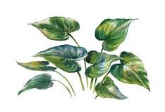 Pintura de la acuarela de hojas en el ejemplo blanco del fondo Fotos de archivo libres de regalías