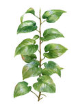 Pintura de la acuarela de hojas en el fondo blanco Foto de archivo