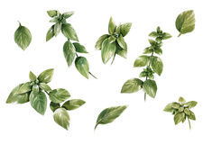 Pintura de la acuarela de hojas en el fondo blanco Fotos de archivo libres de regalías