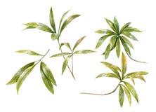 Pintura de la acuarela de hojas en el fondo blanco Foto de archivo libre de regalías