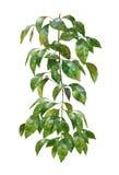 Pintura de la acuarela de hojas en el fondo blanco Imagen de archivo libre de regalías
