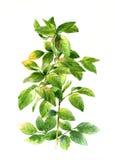 Pintura de la acuarela de hojas en el illuatration blanco del fondo Foto de archivo