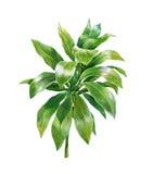 Pintura de la acuarela de hojas en el illuatration blanco del fondo Imágenes de archivo libres de regalías