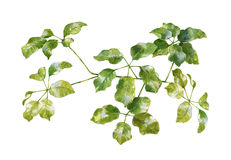 Pintura de la acuarela de hojas verdes Fotografía de archivo libre de regalías