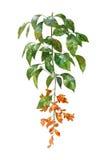 Pintura de la acuarela de hojas y de la flor, en el fondo blanco Foto de archivo libre de regalías