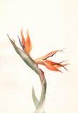Pintura de la acuarela de la flor del Strelitzia Fotografía de archivo