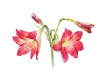 Pintura de la acuarela de la flor, en el fondo blanco Fotos de archivo