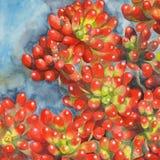 Pintura de la acuarela de la planta de haba roja de jalea los succulents Imagen de archivo libre de regalías