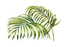 Pintura de la acuarela de las hojas de palma del coco aisladas Fotos de archivo