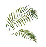 Pintura de la acuarela de las hojas de palma del coco en el fondo blanco Imágenes de archivo libres de regalías