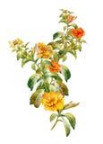 Pintura de la acuarela de las hojas y de la flor, fondo blanco Imagen de archivo