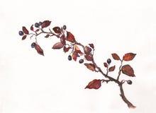 Pintura de la acuarela del Cotoneaster Foto de archivo