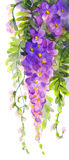 Pintura de la acuarela Glicinia violeta Imagen de archivo
