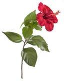 Pintura de la flor del hibisco en el fondo blanco Imágenes de archivo libres de regalías