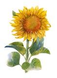 Pintura del amarillo, flor, girasol del ejemplo de la acuarela Foto de archivo libre de regalías