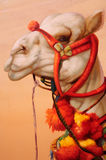 Pintura del camello ilustración del vector