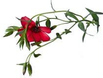 Pintura digital blanca aislada flor del Purslane Fotografía de archivo