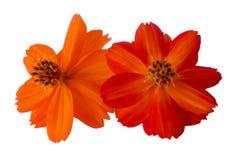 Pintura digital blanca aislada flor del Purslane Imagenes de archivo