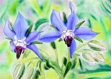 Pintura original de las flores azules de la borraja stock de ilustración
