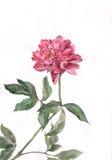 Pintura roja de la acuarela de la flor del peony