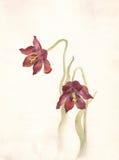 Pintura roja de la acuarela de los tulipanes Fotos de archivo