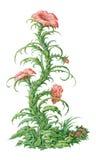 pintura surrealista de la flor de la fresia del Hada-cuento Aislado en blanco Imagenes de archivo
