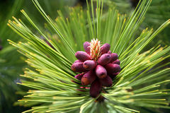 Red pinus detail Royalty Free Stock Photos