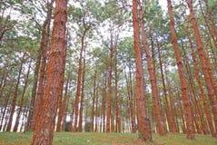 Pinus Images stock