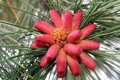 Pinus argentino fotos de archivo libres de regalías