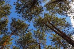 Pinus on Blue Sky Royalty Free Stock Photo