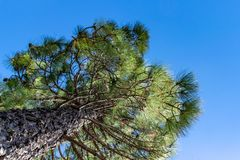 Looking up at a Canary Island Pine tree Pinus canariensis on La Palma Island, Canaries, Spain. Pinus canariensis, the Canary Island pine, is a subtropical pine royalty free stock image