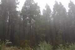 Pinus Canariensis Floresta nevoenta enevoada em Tenerife, Espanha, tempo do inverno Imagem de Stock Royalty Free
