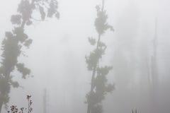 Pinus Canariensis Floresta nevoenta enevoada em Tenerife, Espanha, tempo do inverno Foto de Stock Royalty Free