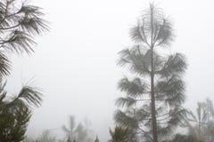 Pinus Canariensis Floresta nevoenta enevoada em Tenerife, Espanha, tempo do inverno Imagens de Stock Royalty Free