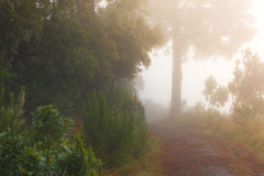 Pinus Canariensis Floresta nevoenta enevoada em Tenerife, Espanha, tempo do inverno Fotos de Stock