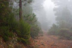 Pinus Canariensis Mglisty mgłowy las w Tenerife, Hiszpania, zimy pogoda Zdjęcia Stock