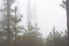 Pinus canariensis. Misty foggy forest in Tenerife, Spain, winter weather. Pinus canariensis. Misty fog forest in Tenerife, Spain, winter weather royalty free stock photo